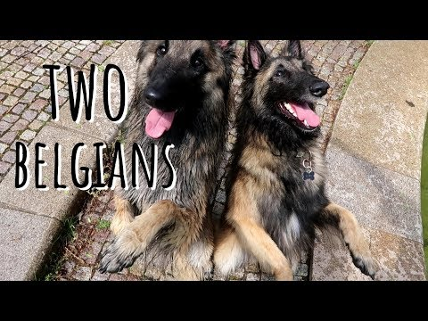 Two Belgians | Belgian Shepherd Tervuren Dog