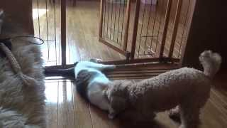 犬の遊び方が少し乱暴ですが猫はいたって平気 時に犬がキャインと鳴かさ...