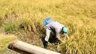 Japanese Rice Cycle: The Harvest