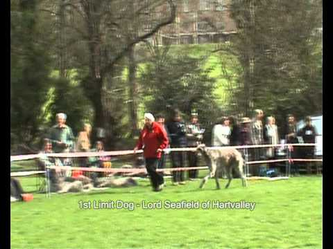 Deerhound Dog Final Line Up Breedshow 2009