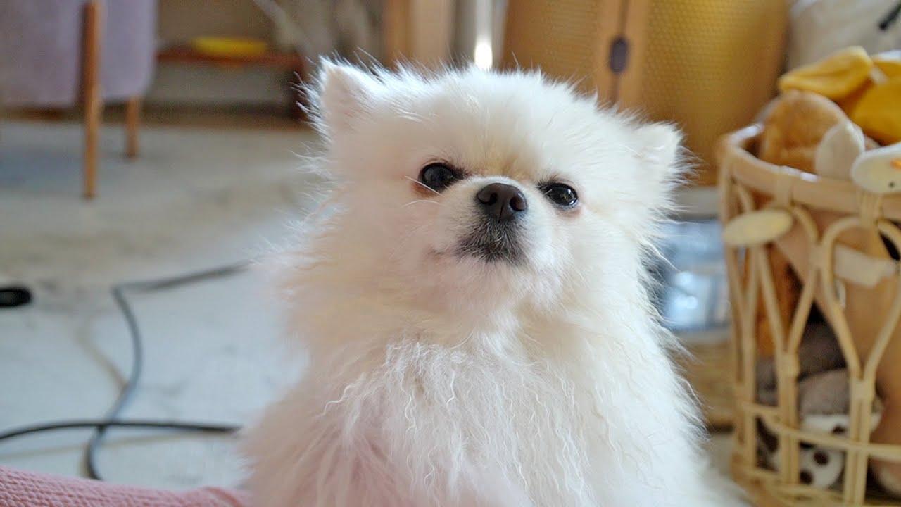 목욕시켰다고 삐진 강아지 (대꾸안함)   Sulk puppy for being bathed (No reply)