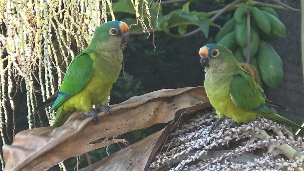 Pássaros em meu Viveiro de Bonsai (parte 2)