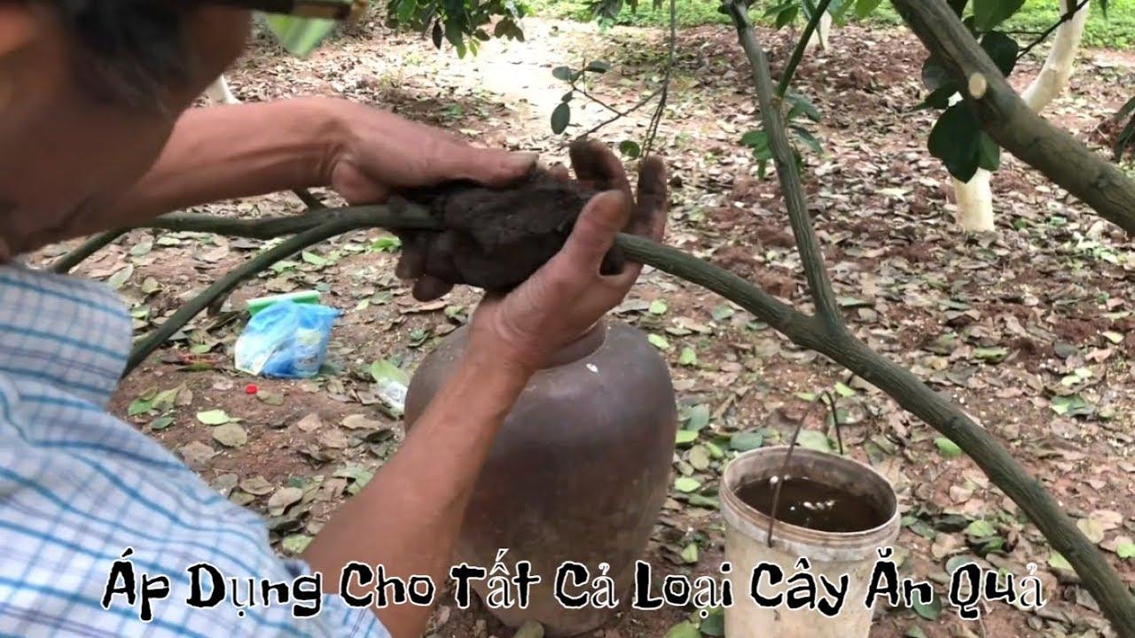 Kỹ thuật chiết ứng dụng cho tất cả các loại cây ăn quả ( #LNLV )   Lão Nông Làm Vườn