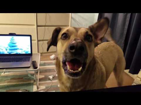 Awesome dog speaks English! Lexi knows how to say Hello. Smart dog tricks - How to teach your dog