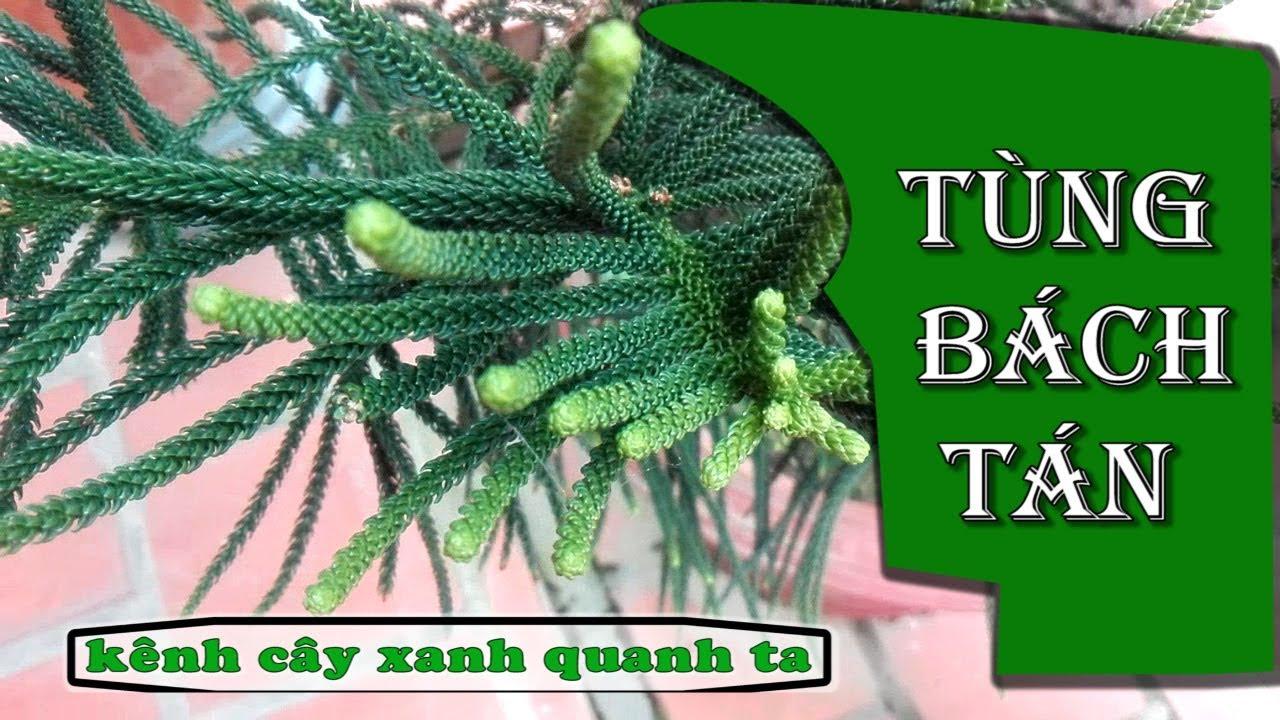 Cây Tùng Bách Tán [ cây xanh quanh ta ]