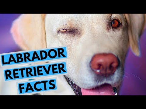 Labrador Retriever Dog Breed Facts and Information