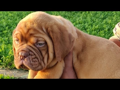 French Mastiff Puppy for Sale,Dogue De Bordeaux Puppies, Doggyz World,9896504757,9053119990,1,2