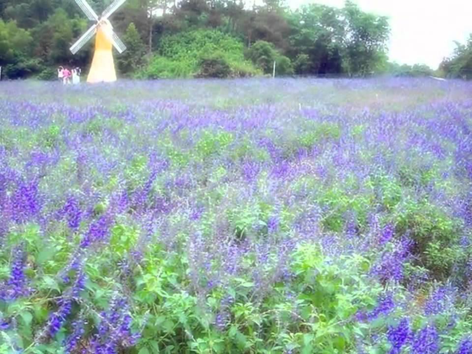 心靈音樂 -薰衣草