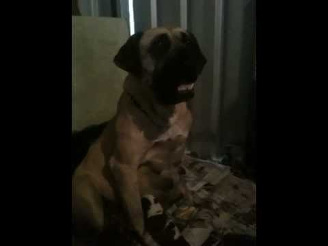 South African Boerboel with newborn puppies