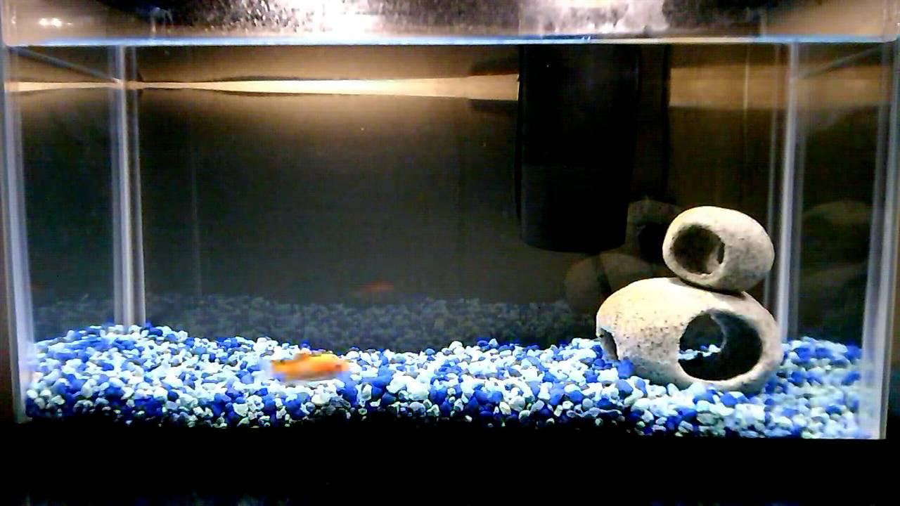 Freshwater fish no filter - Goldfish No Filter