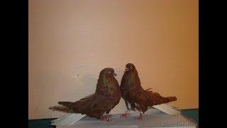 Школа голубевода урок 4 Признаки пород