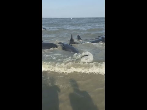 Laura Anderson - POD of Whales Beach Themselves on St. Simons Island