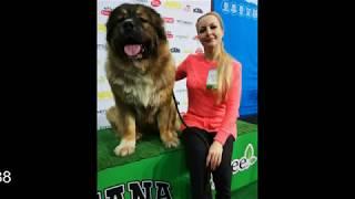 Лучший кавказец (кавказская овчарка)  Нурхан и его награды!!! #кавказскаяовчарка  #щенкинапродажу