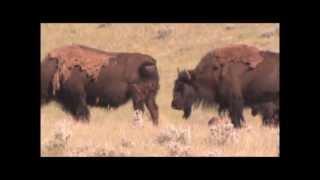 Plains bison at Old Man on His Back, Saskatchewan