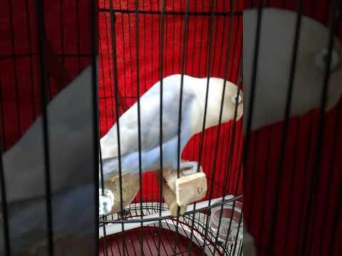 Love bird Nazwa