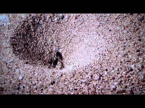 Trap Jaw Ant Queen Trap-jaw Ant vs Ant-lion