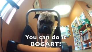 Dog Training Videos: Bogart's Build-up To The Dog Jog