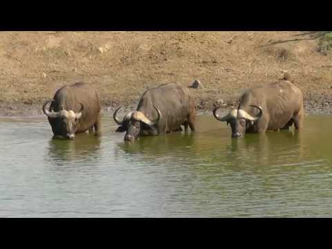 SOUTH AFRICA many animals at Klopperfontein, Kruger national park (hd-video)