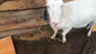 Кормушка для коз и овец. Чистим и подстригаем копыта. Лечим козлёнка.