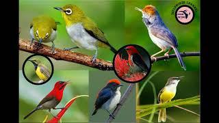 Video suara pikat semua burung kecil (mp3 pikat burung kecil) download MP3, 3GP, MP4, WEBM, AVI, FLV September 2018