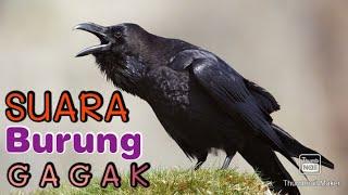 Download SUARA BURUNG GAGAK