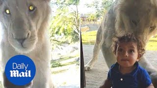 Hilarious moment lion attempts to attack boy through glass