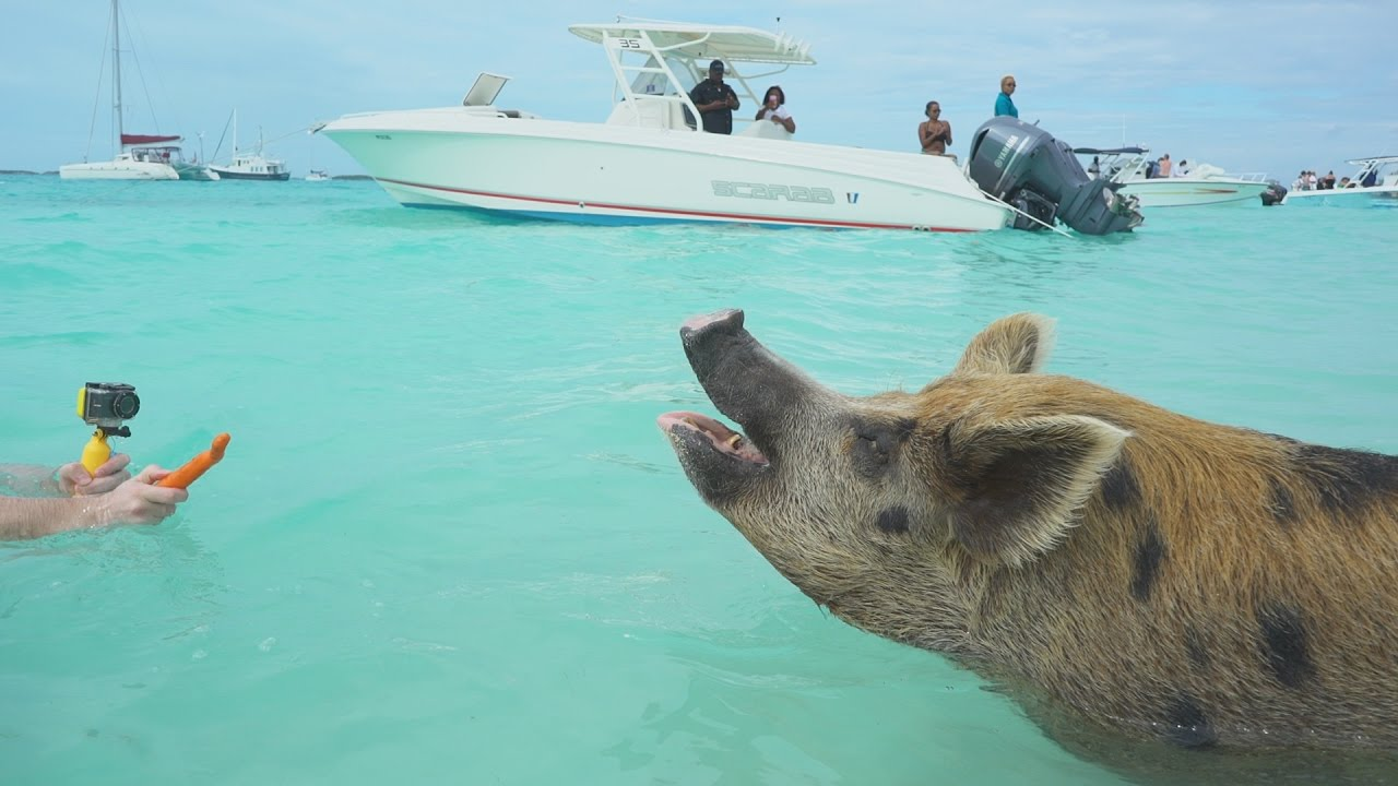 Swimming with the Pigs, Bahamas!