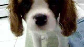 Winston The Cavalier King Charles Spaniel Puppy Eats Carrot