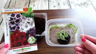 Хитрости при выращивании глоксинии из семян