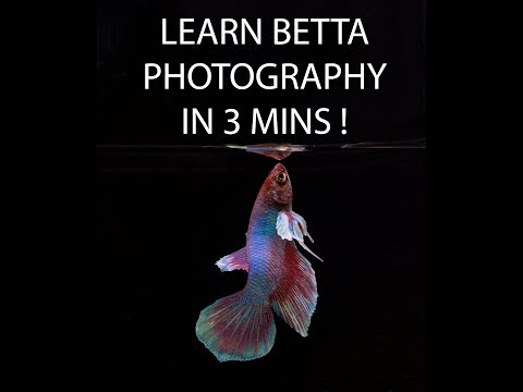 Learn Betta Fish Photography In 3 Mins For New Fish Photographers