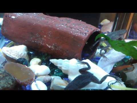 African Dwarf Frogs And Male  Betta Fish Together