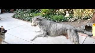 Finn the Irish Wolfhound in slow motion