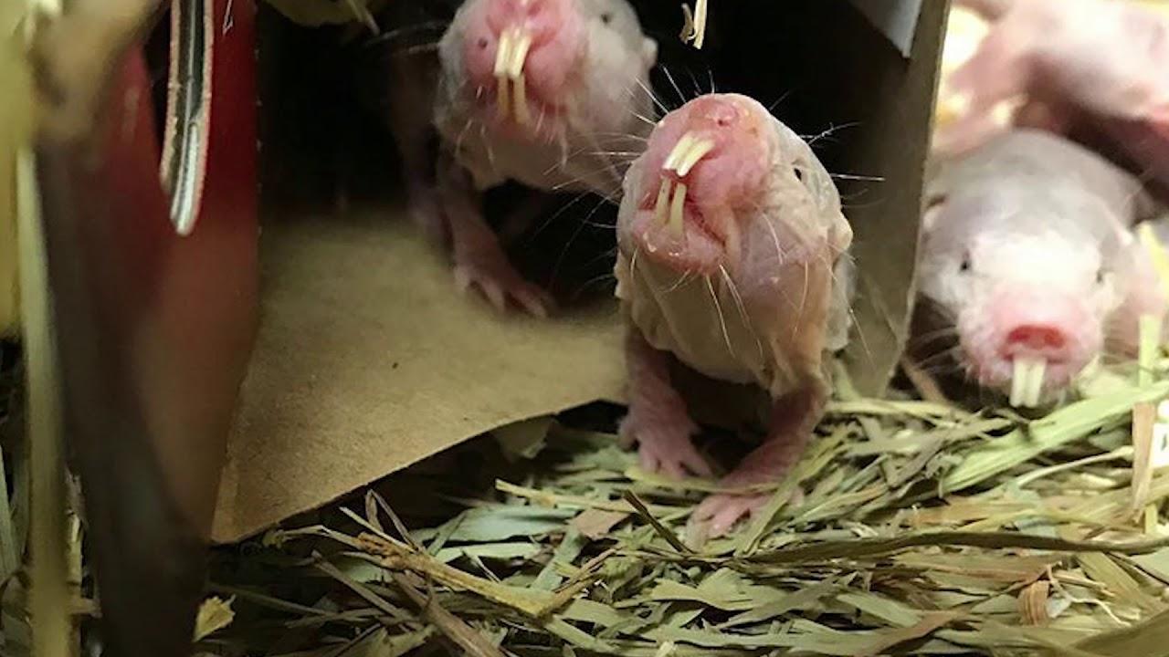 Naked mole-rat | Smithsonians National Zoo