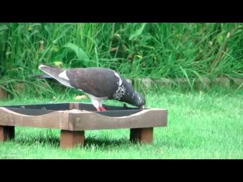 Pigeon?