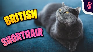 Top 10 Facts about British Shorthair Cat | Furry Feline Facts