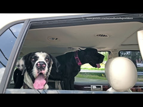 Excited Great Danes Love Going For A Car Ride