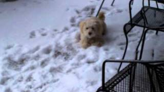 Bichon Frise/poodle First Time Snow!