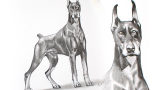 How to Draw a Doberman Pinscher Dog - Graphite Pencil