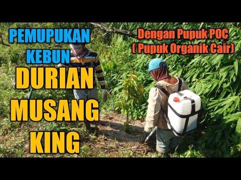 kebun-durian-musang-king...pemupukan-dengan-poc-pupuk-organik-cair