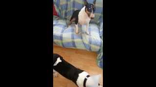 Crazy Bull Terrier Miniature Female  Jumping All Around