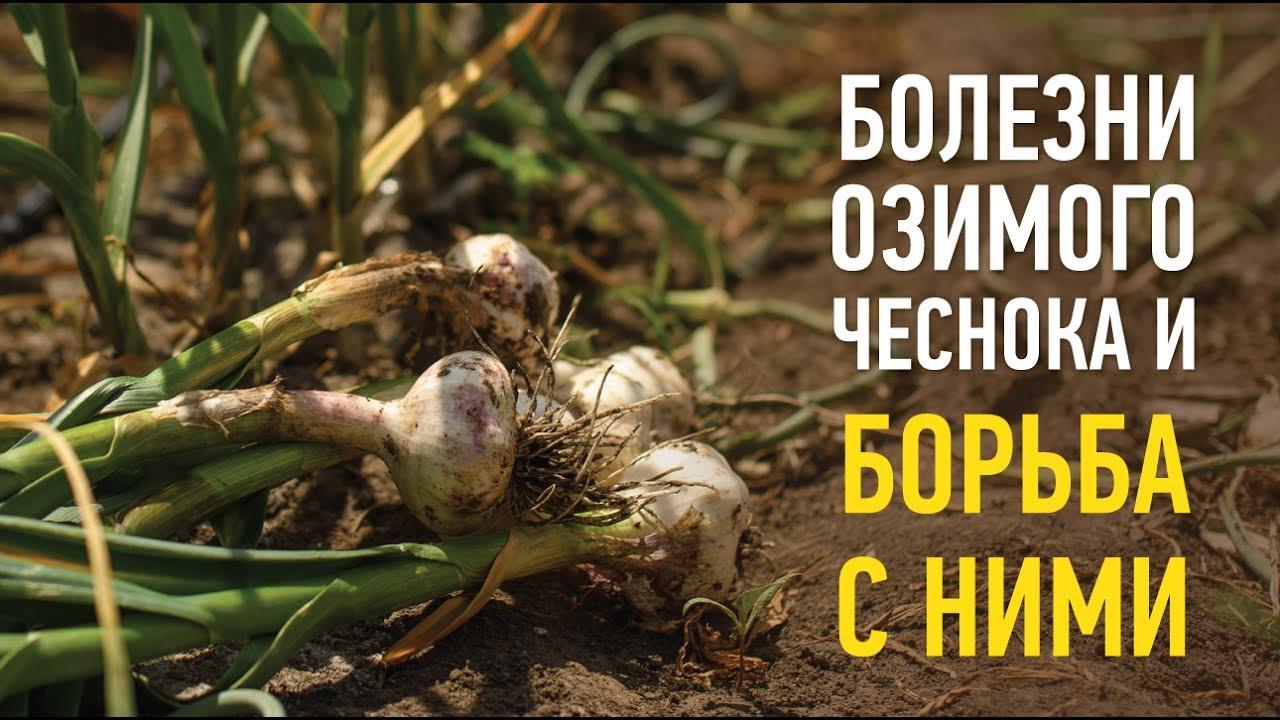 Купить продать семена чеснока по оптовым ценам: 35 предложений от семеноводческих хозяйств и питомников в украине. «agrotorg» эффективен: успешная. Продам чеснок озимый на посадку чеснок посевной озимый цена приятно удивит, сорта лучшей украинской и зарубежной селекции любаша,