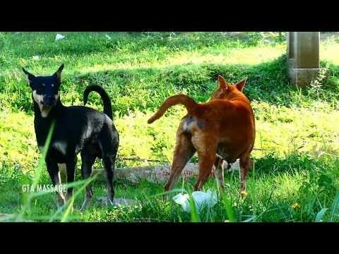SummerDogs!! Australian Cattle Dog Vs Carolina Dog Female in Middle Khnar Village
