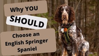 Why you SHOULD choose an English Springer Spaniel for a Next Pet