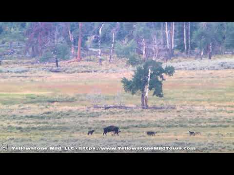 A morning with the Yellowstone wolves of the Junction Butte Pack 19-08-2017