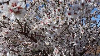 Almond farmers fight February freeze