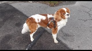 Cavalier King Charles Spaniel Vs. German Shepherd - {paca}