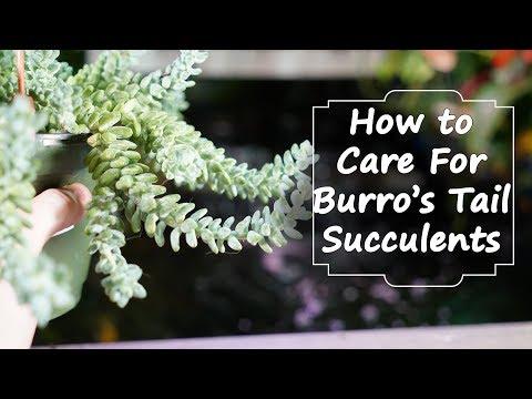 Growing Burro's Tail / Donkey's Tail || Sedum Morganianum