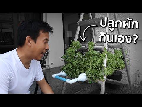 ปลูกผักกินเองใช้เวลากี่วัน!?
