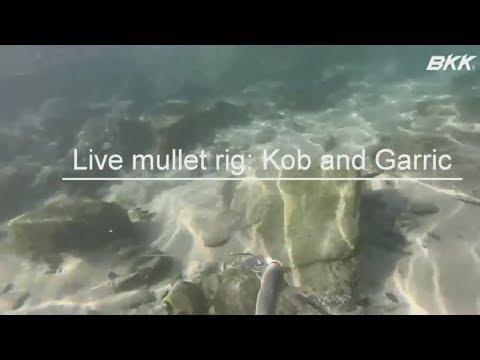Live Mullet, Bait Demonstration For Kob And Garric