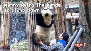 Nanny Helps The Panda To Climb Down | iPanda